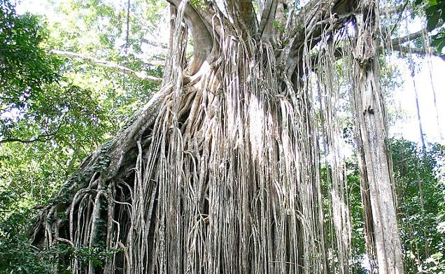 Curtain tree Queensland Australia