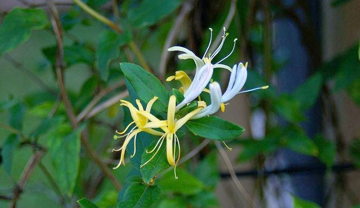 Honeysuckle plant with flowers