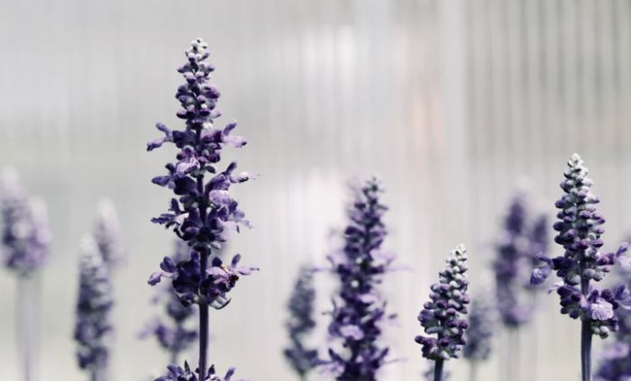 Purple lavender plants in bloom