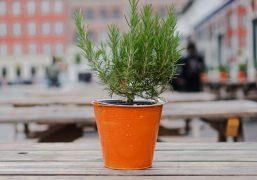 rosemary-plant-inpot.jpg