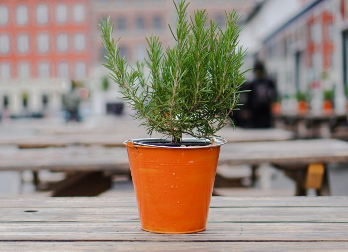 rosemary plant in orange pot