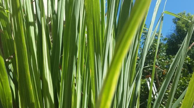 Wild lemongrass plant